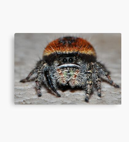 Jumping Spider Canvas Print