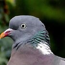 Not amused.... Wood Pigeon by Rivendell7