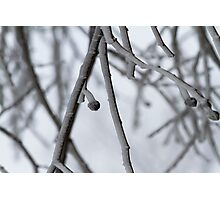 frozen dew on the branches Photographic Print