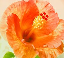 Hibiscus in focus by lensbaby
