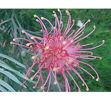 Soft Red Grevillea Photographic Print