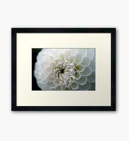 Dahlia in white Framed Print