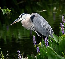 Great Blue Heron by Gail Falcon