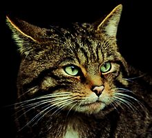 Scottish Wildcat close up by ljm000