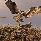 Osprey Hawk 1 by BigRPhoto