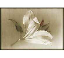 Lily Lustre Photographic Print