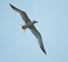 Young Gull by madman4