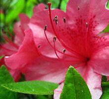 azalea blossums 2 by LoreLeft27