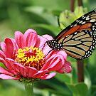 Monarch by BigD