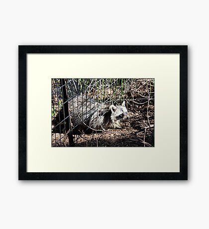 Escaping Racoon Framed Print