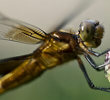 dragonfly detail by jude walton