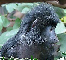 Ebony-Leaf Monkey by Tom Newman