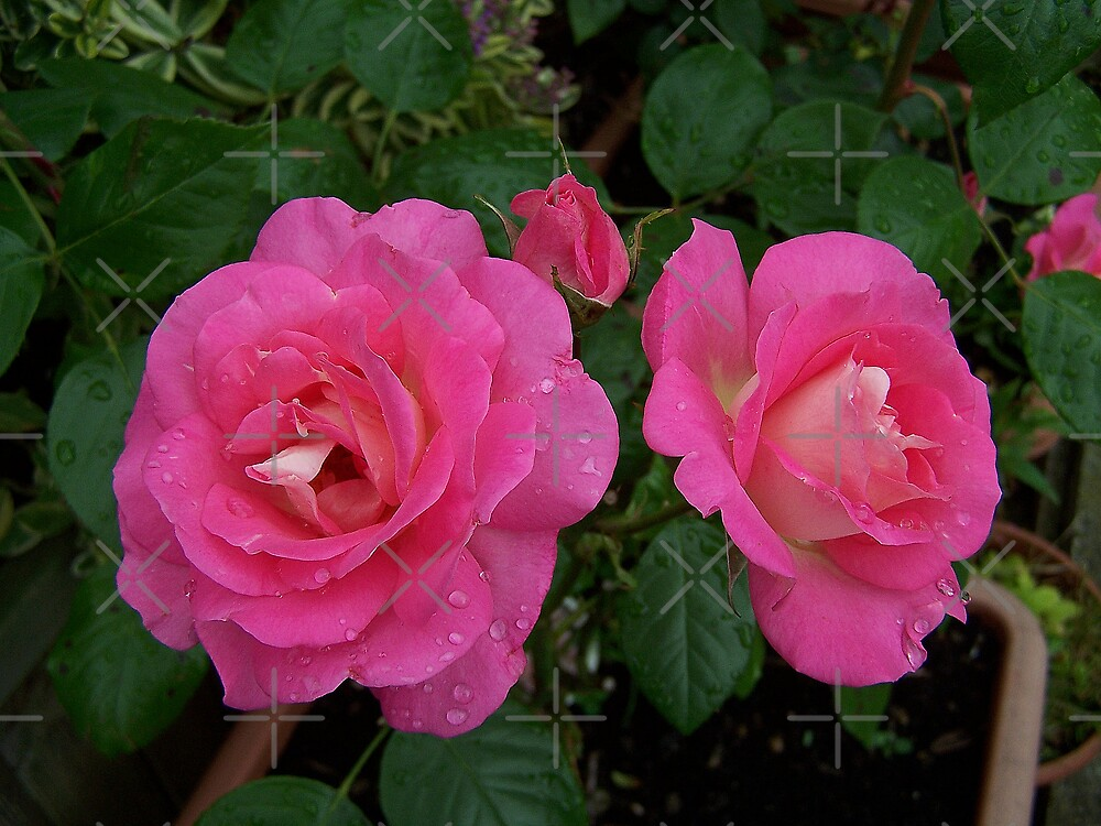 Dark Pink Roses .. after the rain 4 by LoneAngel