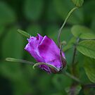 Rose bud in the shade by Stephen Thomas