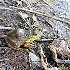 Relaxing Frog in the USA by the pond. by Barberelli