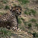 cheetah by jude walton