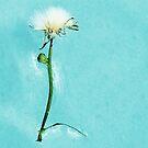 Dandelion in seed by iamelmana