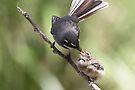 Grey Fantail and chick ~ Thanks Mum  by Robert Elliott