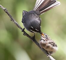 Grey Fantail and chick ~ Thanks Mum  by Robert Elliott