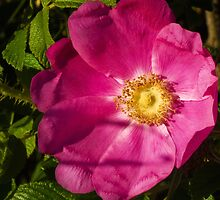 Wild Rose of Summer by David Friederich