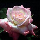 pink rose by Lolabud