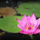 waterlily series - pink by PeaceM