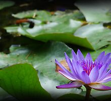 waterlily series - purple by Peace Mitchell