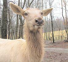 White Elk by Ginny York