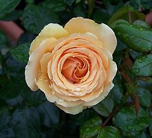 Apricot Rose .. after the rain 5 by LoneAngel