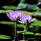 Lotus Flowers by Ellen Rosen Singer