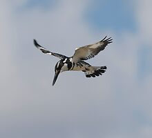 Pied Kingfisher by MichaelBr