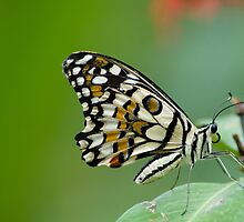 Common Lime Butterfly by T A Joseph