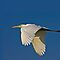 Great White Egret Flyby by Marvin Collins