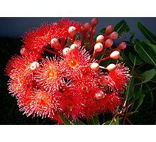 Eucalyptus Red Photographic Print