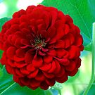 Red Zinnia  by barnsis