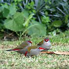 Firetail finches on the back lawn by Nick Hunt