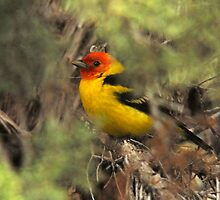 "Western Tanager - ""Hiding Out"" by Ryan Houston"