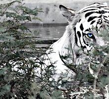 Eye of the tiger... by Khoj Badami