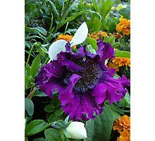 Petunia hybrida grandiflora superbissima nana Photographic Print