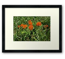 Butterfly Weed  Framed Print