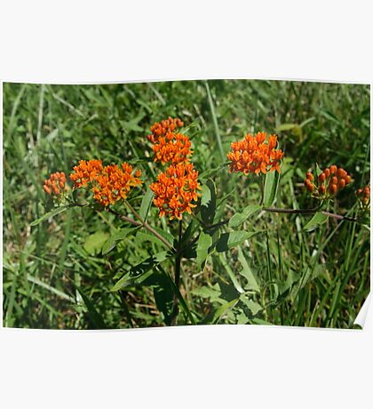 Butterfly Weed  Poster