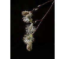 PussyWillow ... Spring is here !!! Photographic Print