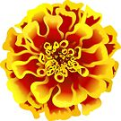 Marigold  by TinaGraphics
