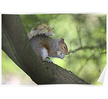 Nimh-Western Grey Squirrel Poster