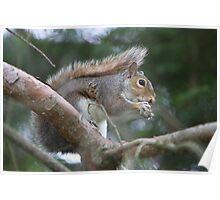 Coal Eyes-Western Grey Squirrel Poster