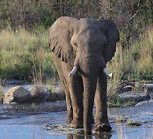 Elephant Crossing by id4jd