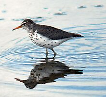 "Spotted Sandpiper - ""Reflected"" by Ryan Houston"