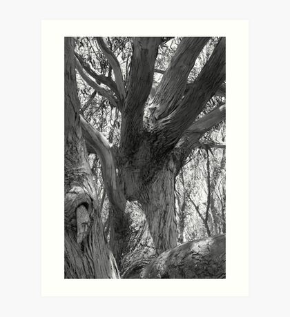 Big old eucalyptus Art Print