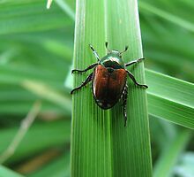 Japanese Beetle by Danielle Davenport