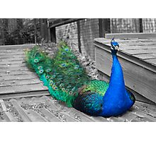 Song of the Peacock Photographic Print